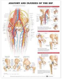 Anatomy & Injuries of the Hip Anatomical Chart