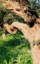 Suomityttö oliivimetsässä