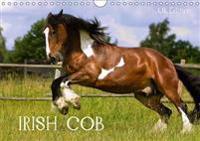 Irish Cob 2017