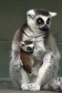 A Mother Ring-Tail Lemur and Her Sweet Baby Journal: 150 Page Lined Notebook/Diary