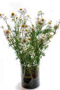 A Pretty Country-Style Bouquet of Chamomile Flowers in a Glass Journal: 150 Page Lined Notebook/Diary