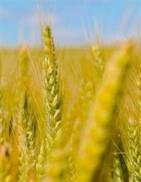 Wheat Fields: Notebook with 150 Lined Pages