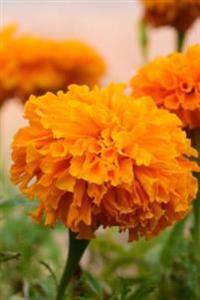 Happy Orange Marigold Flower Up Close Garden Journal: 150 Page Lined Notebook/Diary