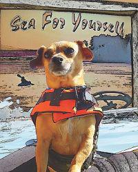 Sea for Yourself: The Great Chiweenie Presents