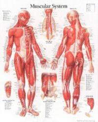 Muscular System with Male Figure Laminated Poster