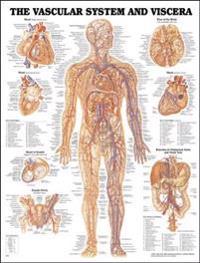 Vascular System & Viscera Chart